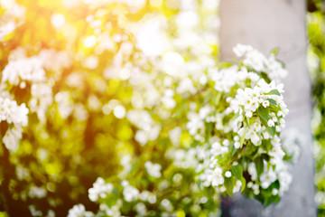 Photo sur Aluminium Muguet de mai Apple tree blosom. White flowers on ackground of green leaves. Summer background horizontal bokeh glare.