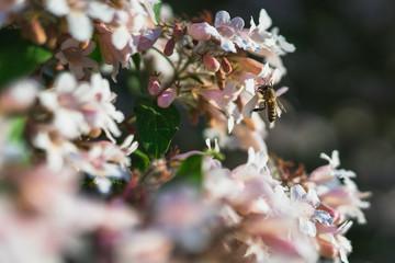 Eine Biene, die Nektar auf einem Baum mit rosa weißen Blüten sammelt. Der Hintergrund ist unscharf.