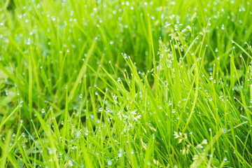 Green grass with dew, nature background