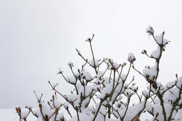 Azaleenzweige im Winter mit Schnee