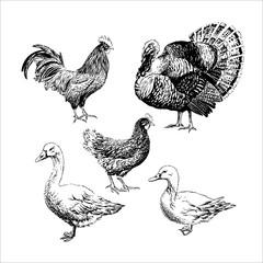 Set of Farm birds - rooster, chicken, turkey, goose, duck.