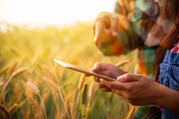 couple of farmers in a gold field with a digital tablet