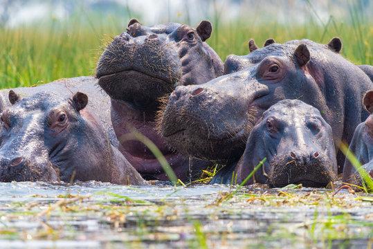 Flusspferde tauchen aus dem Wasser auf und schauen neugierig, Botswana, Okavango Delta