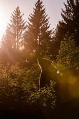 Brown Bear (Ursus arctos)