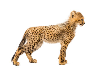 Side view of three months old cheetah cub standing, isolated Wall mural
