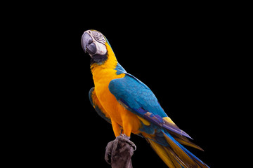 Bird Blue and yellow macaw standing on branches isolated black background. Fotomurales