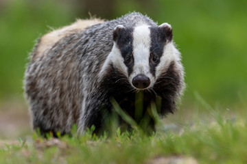 Portrait of European badger outdoors. Badger is looking at the camera. Fotomurales