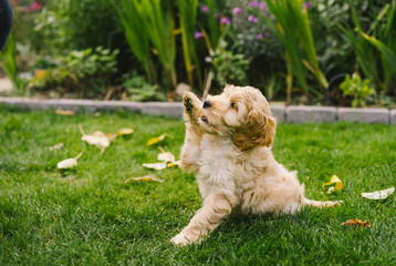 Adorable golden Cockapoo puppy playing in garden outside