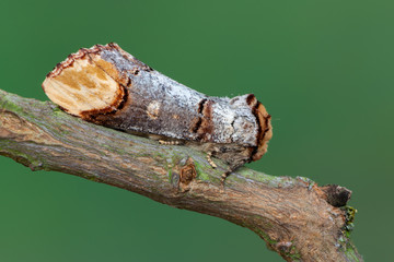 Buff-tip - Phalera bucephala