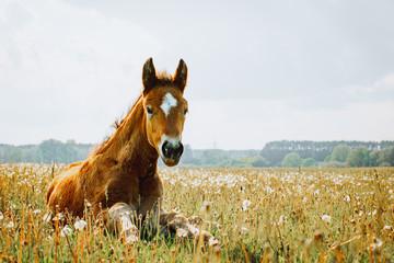 Fototapeta Little foal having a rest in the green grass obraz