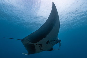 Oceanic manta ray flying around a cleaning station in cristal blue water