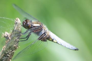 Plattbauch Libelle Männchen
