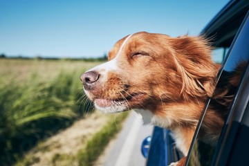 Dog travel by car Wall mural