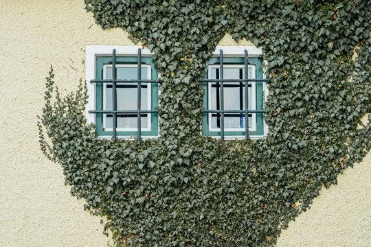 Ivy creeper growing on a wall around windows