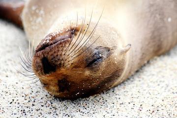 Sleeping sea lion. Galapagos Islands