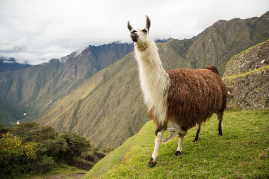 Llama Along the Inca Trail to Machu Picchu