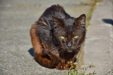 close up of a portrait of homeless dark brown cat very quiet on the sidewalk in a sunny day. The abandoned cat has got middle-opened yellow eyes. Horizontal picture