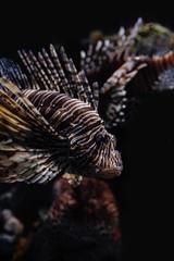 Marine Creature - Lion Fish