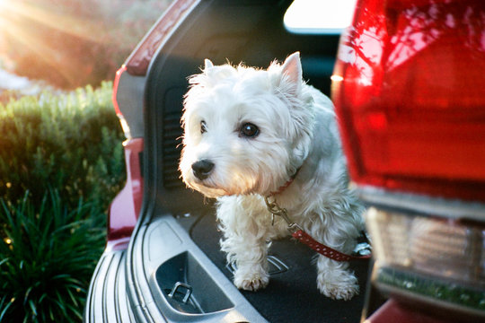 White dog in the back of an open car at sunset