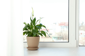 Pot with peace lily on windowsill, space for text. House plant Wall mural