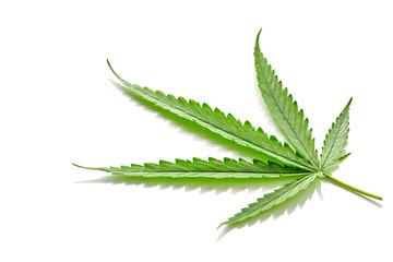Cannabis fan leaf on white background