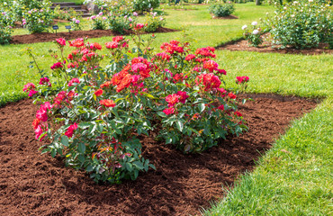 """""""Cinco de Mayo"""" rose blooms in a mulched flower bed"""