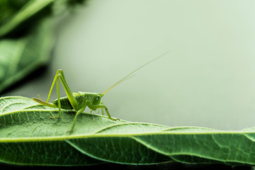 Young green grasshopper on a leaf, nettle leaf on a gray background.
