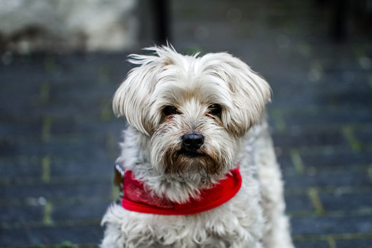 A Mature yorkie wearing a red collar outdoors.  A loved family pet for many years in a loving environment and a beautiful home and outdoor space.
