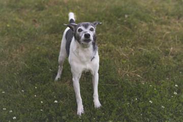 Rat Terrier family pet dog outside on grass