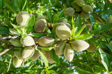 Unripe almond on the branch of the tree in Sicily, Italy