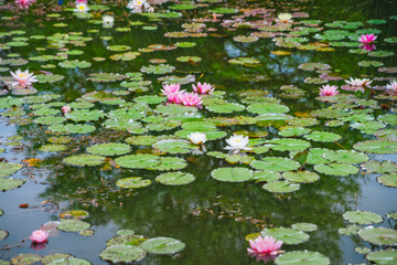 Stores photo Nénuphars red water lilies on a pond