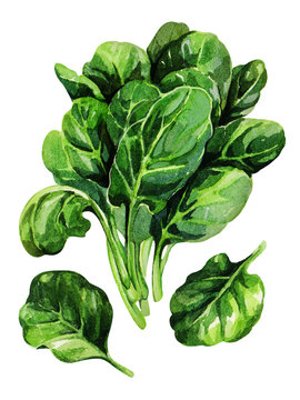 Spinach. Hand drawing watercolor.