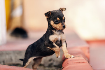 Close up of adorable little puppy standing outdoors and looking at something with one paw up.