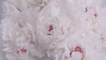 Fotoväggar - Beautiful white peony flowers opening. Blooming bouquet of peonies opening closeup over grey. Timelapse 4K UHD video footage. 3840X2160