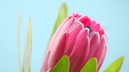 Fotoväggar - Protea bud closeup. Pink King Protea flower rotation over blue background. Slow motion 4K UHD video footage. 3840X2160