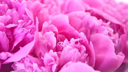 Fotoväggar - Beautiful pink peony bouquet background. Blooming peony or rose flowers rotating, close-up. 4K UHD video footage. 3840X2160