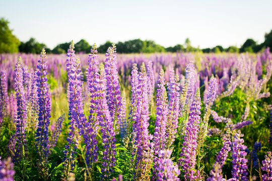 Colorful blue, purple and violet lupine flowers i the field in summer evening