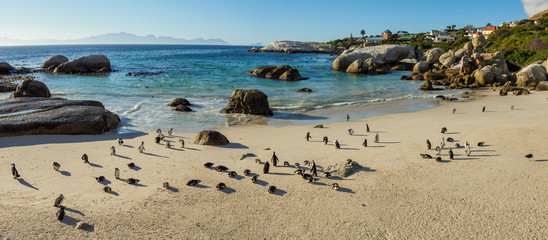 African penguin, black-footed penguin or jackass penguin (Spheniscus demersus) colony at Boulders Beack. Cape Town. Western Cape. South Africa Wall mural