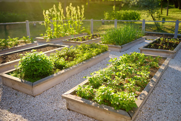 Community kitchen garden. Raised garden beds with plants in vegetable community garden.