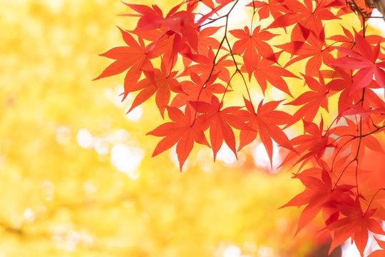 赤黄に色づいた紅葉の葉