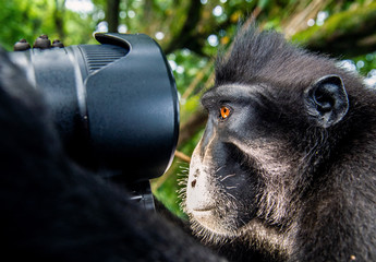 Monkey looks into the lens. The Celebes crested macaque.  Crested black macaque, Sulawesi crested macaque, or the black ape. Natural habitat. Sulawesi Island. Indonesia.