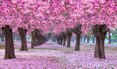 Pink trumpet tree with pink flower blooming tunnel on the morning.