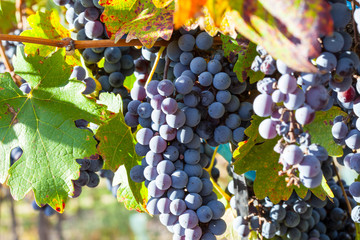 Grape plantation in the state of Mendoza, Argentina Fototapete
