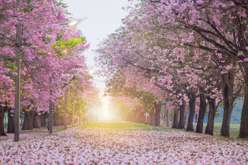 Poster Trees Pink trumpet tree with pink flower blooming tunnel with sunlight ray on the morning.