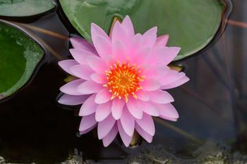 Printed roller blinds Lotus flower pink lotus flower at garden