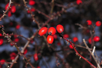 red hips of a dog rose