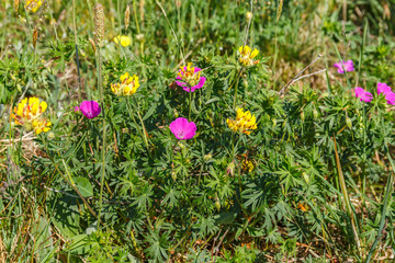 Bloody cranesbill and kidney vetch on a summer meadow