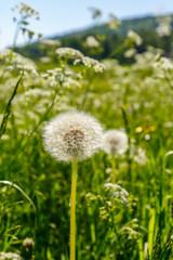 Meadow with overgrown dandelions