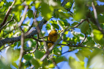 Yellowhammer sitting in a tree and resting