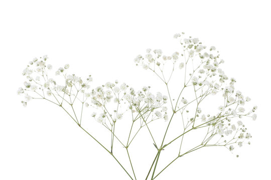 Gypsophila flowers isolated on white background